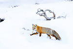 Adult red fox (Vulpes vulpes) foraging in snow covered valley. Hayden Valley, Yellowstone, USA. January