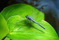A dragonfly rests on a leaf in Holly Hill, FL.  (Photo by Brian Cleary/www.bcpix.com)