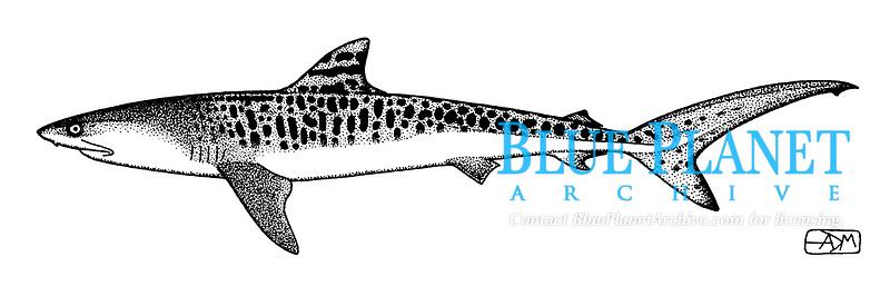 Tiger shark, Galeocerdo cuvieri, embryo, pen and ink illustration.