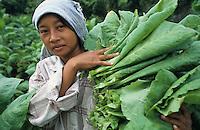 INDONESIA Java Forstenlanden, cigar tobacco farming, women harvest tobacco leaves / INDONESIEN Java Forstenlanden, Anbau von Zigarrentabak, Frauen ernten Tabakblaetter