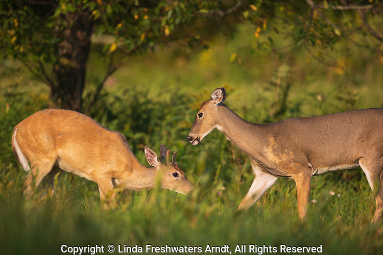 A young buck cowers as a mature doe displays her dominance.