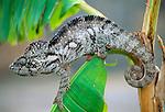 Large male Oustalet's Chameleon (Furcifer oustaleti) at forest edge, Zombitse National Park, Madagascar.