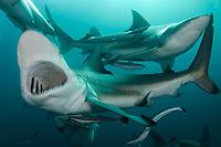 Blacktip Shark, Carcharhinus limbatus, Aliwal Shoal, Umkomaas, South Africa, Indian Ocean