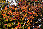 Fall foliage, Soldiertown Township, Maine.