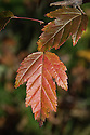 Acer micranthum, late October. A small snakebark maple with green, five-lobed leaves in summer which turn vivid orange and red in the autumn. Native to Japan, occurring on Honshū, Kyūshū and Shikoku.