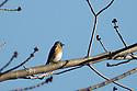 A Bluebird, on a bluebird day !