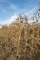 Combinable peas ready for harvest - August, South Lincolnshire