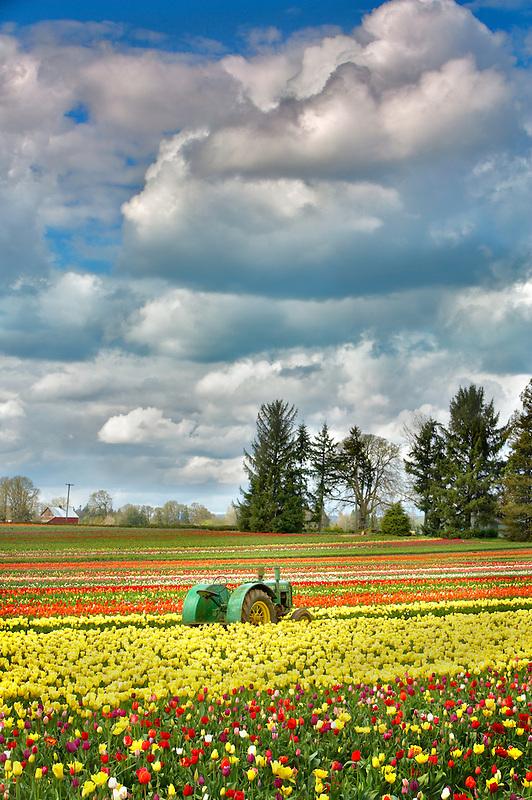 John Deer Tractor in tulip filed. Wooden Shoe Tulip Farm. Woodburn. Oregon