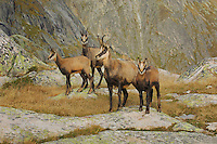 Chamois (Rupicapra rupicapra), group standing, Grimsel, Bern, Switzerland