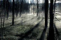 Trees with mist at Yellowstone National Park