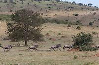 Tanzania. Serengeti. Wildebeest Migrating North Hurry Past Lion Resting under Tree.