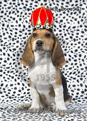 Xavier, ANIMALS, REALISTISCHE TIERE, ANIMALES REALISTICOS, dogs,king,crown, photos+++++,SPCHDOGS991,#a#