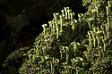 Trumpet Lichen {Cladonia fimbriata}Nordtirol, Austrian Alps, Austria, July.