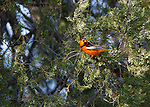A male Bullock's Oriole in a juniper tree in western Montana