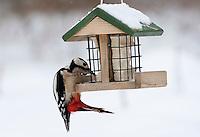 Buntspecht, Männchen an der Vogelfütterung, Fütterung im Winter bei Schnee, an Häuschen mit Fettfutter, Energiekuchen, Winterfütterung, Bunt-Specht Specht, Dendrocopos major, Great Spotted Woodpecker, Pic épeiche