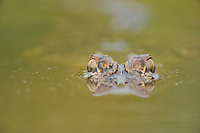 American Alligator (Alligator mississipiensis), adult wimming, Fennessey Ranch, Refugio, Coastal Bend, Texas Coast, USA
