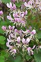 Pelargonium cordifolium var. rubrocinctum, mid May. A variety of P. cordifolium with slightly paler leaves and reddish pink flowers with maroon veins.