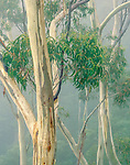 Eucalyptus rainforest, Victoria, Australia
