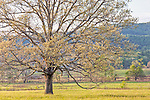 A mature oak in Cades Cove, Great Smoky Mountains National Park, Tennesee, USA
