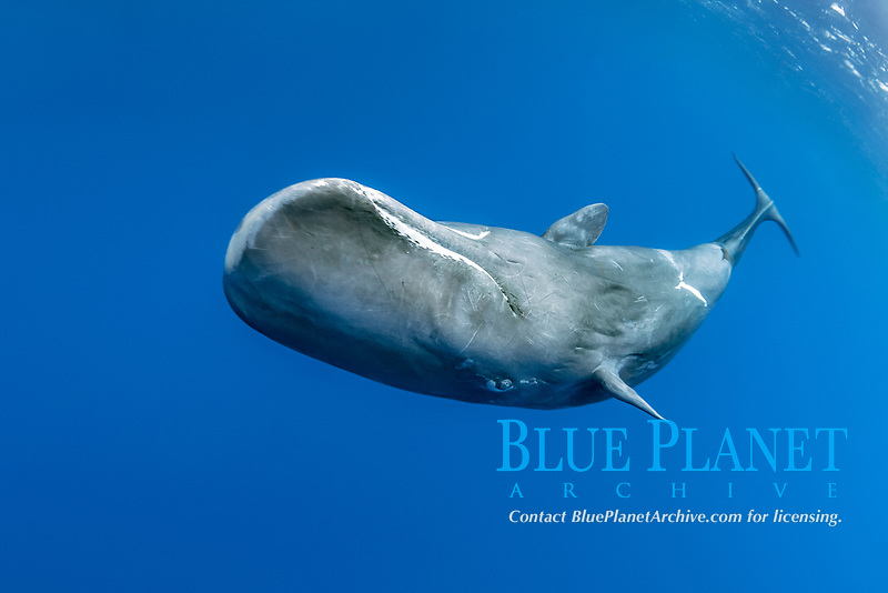 sperm whales, Physeter macrocephalus, Dominica, Caribbean Sea, Atlantic Ocean, photo taken under permit n°RP 17-01/02 FIS-4.