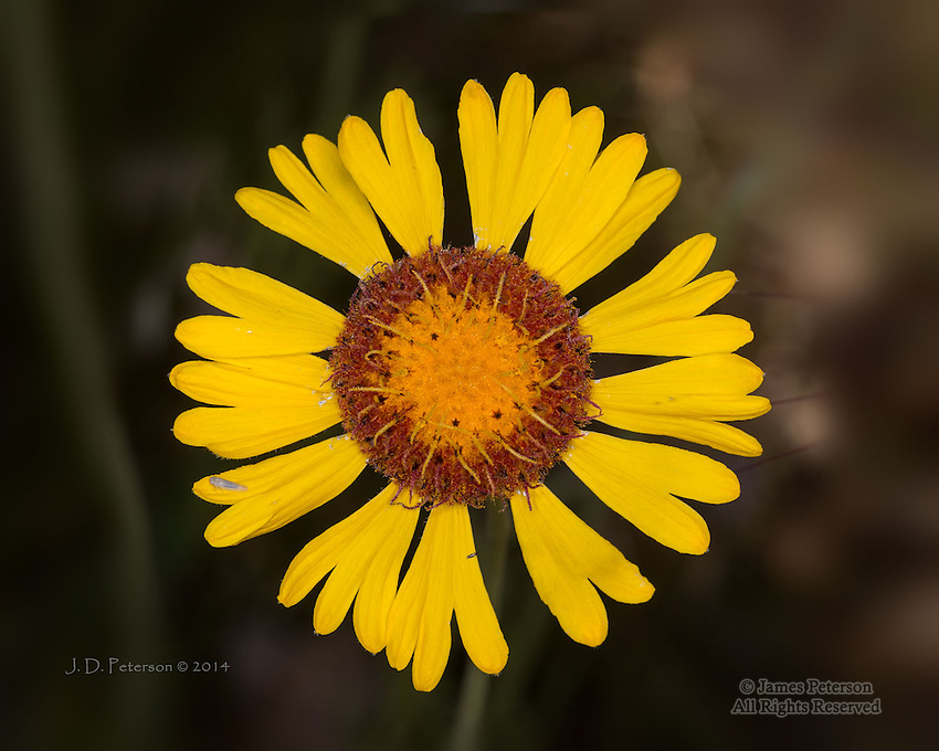 Red Dome Blanketflower (Gaillardia pinnatifida), Yavapai County, Arizona