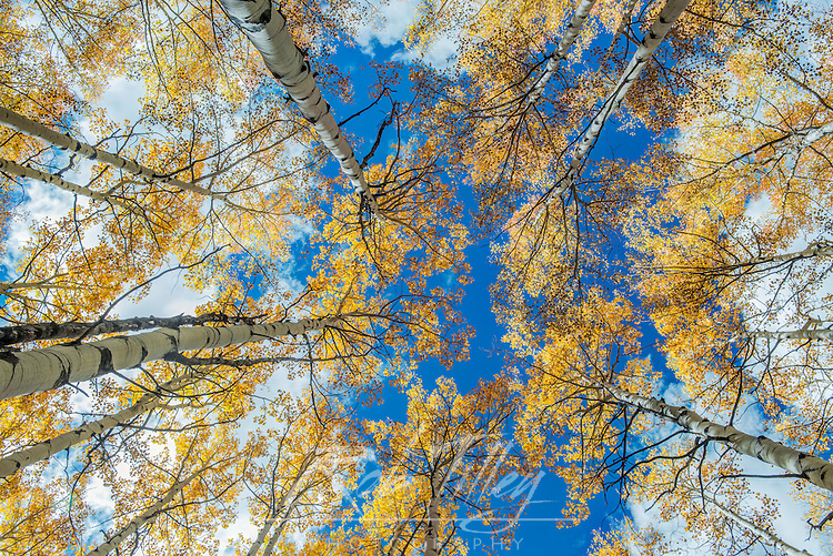 US, CO, Gunnison NF, Looking up to the Sky in an Aspen Grove with Autumn Color