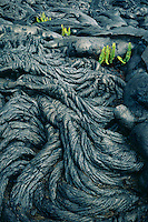 Phoehoe lava and kkupukupu or sword fern<br /> Holei Pali<br /> Hawaii Volcanoes National Park<br /> Island of Hawaii,  Hawaii