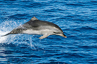 Leaping Spotted Dolphin - missing part of the dorsal fin