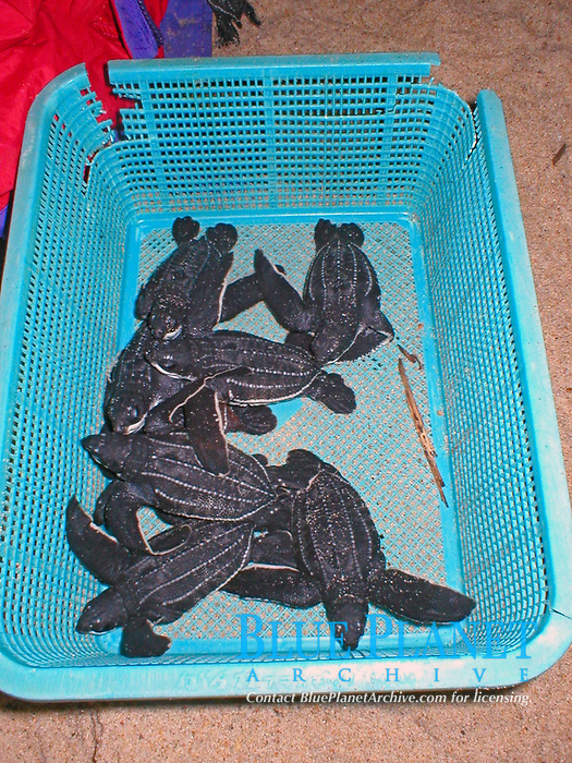 basket full of leatherback sea turtle hatchlings, Dermochelys coriacea, Dominica, Caribbean, Atlantic