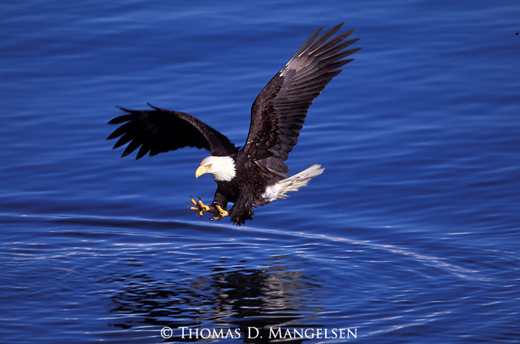 A bald eagle swooping down to catch fish.