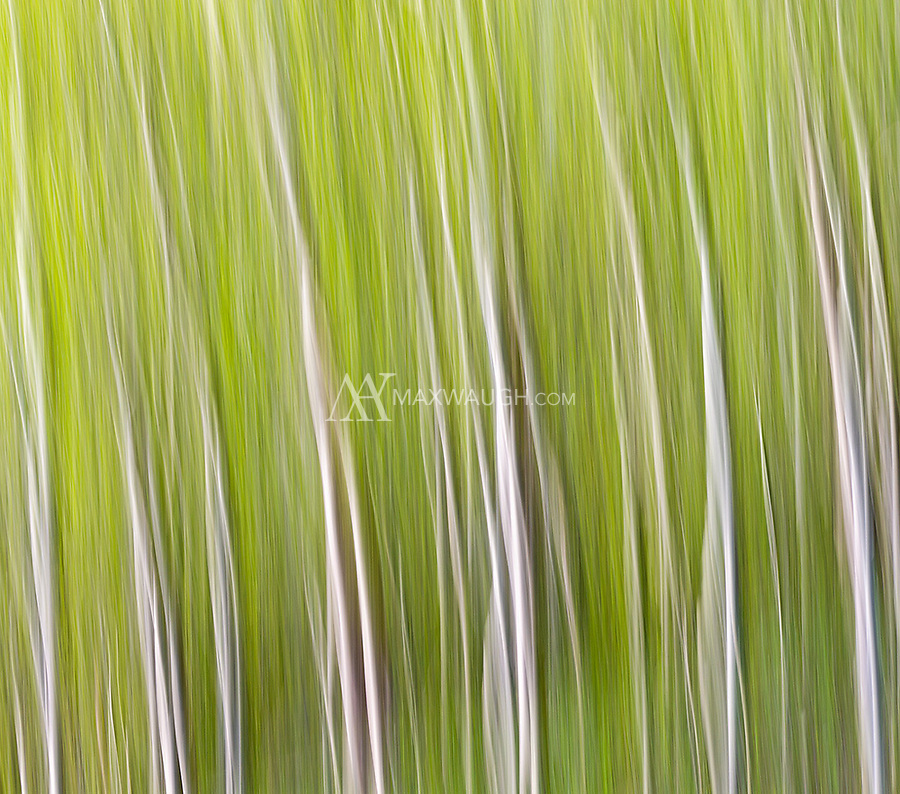 Aspen trees captured using Intentional Camera Movement (ICM) during long exposures.