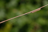 Köcherfliege, Oecetis spec., Long Horn Sedge, longhorn caddisfly, Long-horned Casemaker Caddisfly, Leptoceridae