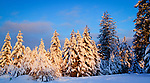 Idaho, North, Kootenai County, Athol. A grove of trees flocked in snow is touched by the first light of a winter day.