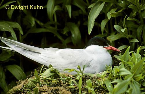 MC55-015a  Arctic Tern - on nest incubating eggs - Machias Seal Island, Bay of Fundy - Sterna paradisaea