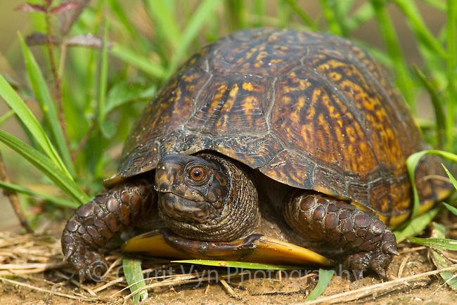 Adult Gulf Coast Box Turtle (Terrapene carolina major). Mobile County, Alabama. July.