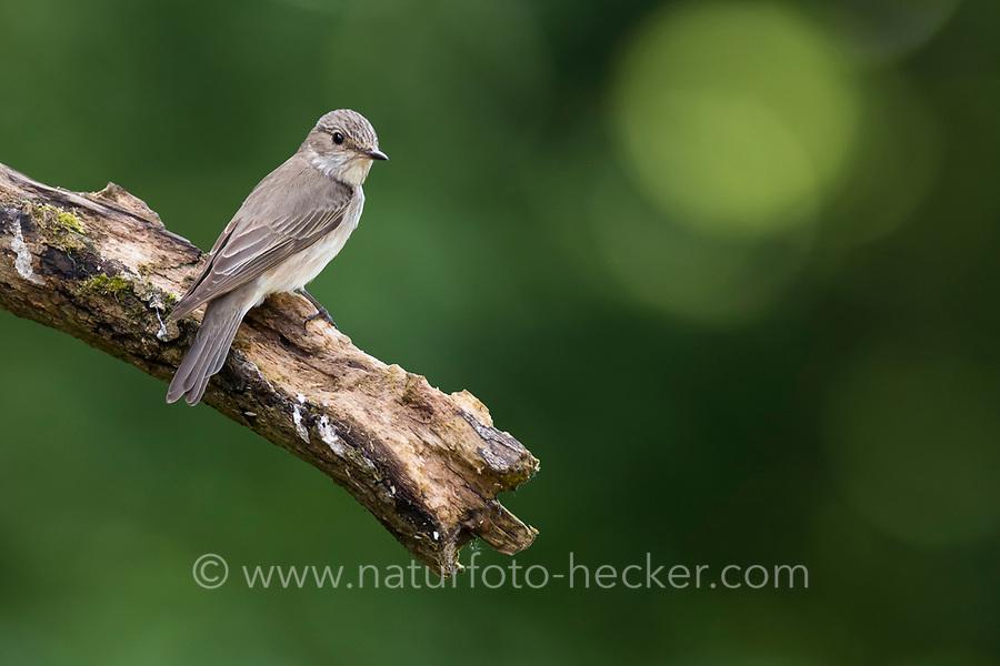Grauschnäpper, Grau-Schnäpper, Sitzwarte, Muscicapa striata, Spotted Flycatcher, Le Gobemouche gris