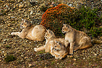 Mountain Lion (Puma concolor) six month old kittens, Torres del Paine National Park, Patagonia, Chile