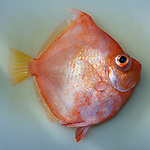 Antigonia capros, Deepbody boarfish, fish, Florida Keys