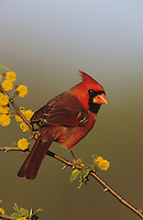 Northern Cardinal, Cardinalis cardinalis,male on blooming Huisache (Acacia farnesiana), Lake Corpus Christi, Texas, USA, April 2003