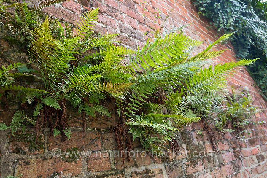 Wurmfarn, an einer alten Mauer, Gemäuer, Gewöhnlicher Wurmfarn, Echter Wurmfarn, Gemeiner Wurmfarn, Männerfarn, Dryopteris filix-mas, male fern, worm fern, La Fougère mâle