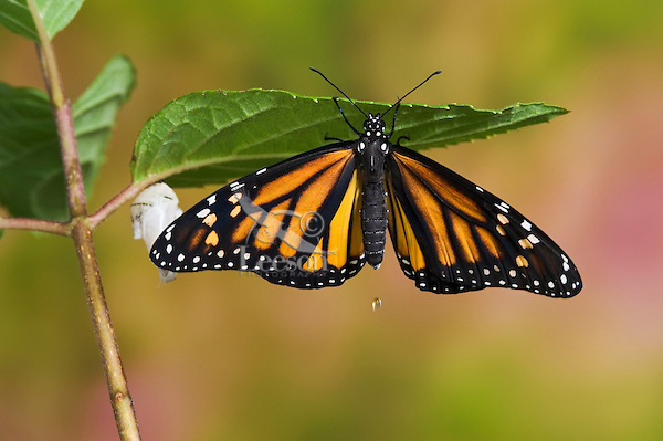 MONARCH BUTTERFLY (Danaus plexippus) adult recently emerged from cocoon hangs near empty chrysalis while pumping meconium from its abdomen into its newly forming wings.  Note excess meconium droplet draining from abdomen. Summer, Nova Scotia, Canada.