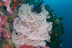 Colorful Reef wall , soft corals, white, orange, green corals, Coconut, Apo Island, Visayas, Philippines 2017