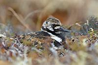 Adult female Ruddy Turnstone (Arenaria interpres) in breeding plumage incubating a nest. Yukon Delta National Wildlife Refuge. Alaska. June.
