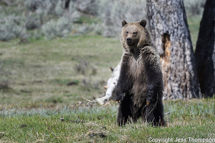 Grizzly Bear Cub in Yellowstone