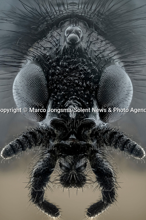Pictured: Female bibio marci, sometimes known as hawthorn fly.<br /> <br /> A series of mesmerising close-up images of insects make them look like aliens.  Photographer Marco Jongsma captured the macro shots of a range of bugs including a cuckoo wasp and a crab spider.<br /> <br /> The pictures detail the intricate features and patterns of the insects - from the bulging yellow eyes of a tiger beetle to the delicate hairs on a honey bee.  The 34-year-old used a macro lens and a microscope to picture the insects in a laboratory at his home in Lemmer, the Netherlands.  SEE OUR COPY FOR DETAILS.<br /> <br /> Please byline: Marco Jongsma/Solent News<br /> <br /> © Marco Jongsma/Solent News & Photo Agency<br /> UK +44 (0) 2380 458800