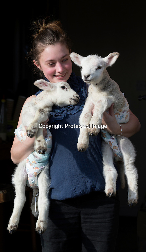 """21/04/15<br /> <br /> Melissa Ebbatson with the lambs.<br /> <br /> Two 'sheep dogs' are helping to pamper three orphaned lambs who think the dogs are their mum.<br /> <br /> The three orphaned  lambs, who wear nappies so they can have the run-of-the-house, like to snuggle up to the dogs and share their bed with them in the kitchen by the stove.<br /> <br /> Piper, an 11-year-old rhodesian ridgeback-cross and Draughtsman, an eight-year-old ex-hunting beagle, take turns looking after the week-old lambs who often try to suckle from their doting canine 'parents'.<br /> <br /> Melissa Ebbatson, 21, said: """"These three were quite poorly, so we brought them inside so we could look after them better and give them a bit more warmth. We put them in nappies so they don't make a mess in the house.  One of the dogs was having a snooze on his bed and the lambs just jumped in and joined him. And they've all become inseparable since then.<br /> <br /> """"The dogs like to clean the lambs' faces after they've had their bottles. And they enjoying romping around the place with them,"""" said Melissa who helps to run Crossgates Farm, with her family near Tideswell in the Derbyshire Peak District.<br /> <br /> """"They seem to really care about them and go straight to them if they start bleating – they even come to find us if they think they're hungry.<br /> <br /> """"We change their nappies at least four-times-a-day - the baby boys even need to wear two!<br /> <br /> """"They are between seven and eight days old, and we hope to get them living back outside again when they are strong enough in another ten days or so – that's as long as the dogs let us!<br /> <br /> """"We're probably all a bit bonkers here but it all seems normal to us"""", she added.<br /> <br /> All Rights Reserved: F Stop Press Ltd. +44(0)1335 418629   www.fstoppress.com."""