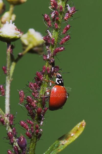 Ladybug Beetle (Coccinellidae), adult eating Aphids (Aphidoidea), Sinton, Corpus Christi, Coastal Bend, Texas, USA