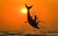 great white shark, Carcharodon carcharias, breaching on seal decoy, at sunset, Seal Island, False Bay, South Africa