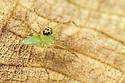 Jumping spider {Salticidae} on dead leaf.  Masoala Peninsula National Park, north east Madagascar.