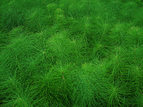 Horsetail plants in the central Cascade Mountains of Oregon, Sandy, USA .  John offers private photo tours and workshops throughout Colorado. Year-round. .  John offers private photo tours throughout the western USA, especially Colorado. Year-round.